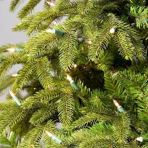 Fraser Fir Tree Tips Up Close