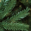 Balsam Fir Prelit Tree