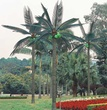 12' Tiara Palm Tree With Coconuts - Natural Green