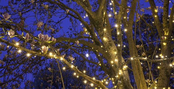 Magnolia Tree Wrapped with Mini Lights